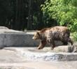 Policja złapała mężczyznę, który skonfrontował się z niedźwiedziem