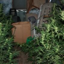 Policjanci pojechali po skradzione samochody i... trafili na plantację marihuany