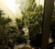 Domowa fabryka narkotyków. Zabezpieczono 12 kg marihuany