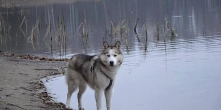 Skradziono niewidomego psa rasy Husky