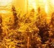 Uprawa marihuany w piwnicy bloku na Ursynowie