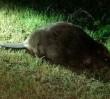 Bóbr zasnął na środku chodnika. Obudzili go strażnicy miejscy