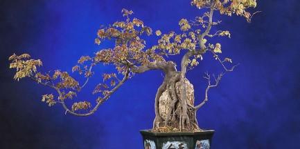 Za darmo: Wystawa Drzewek Bonsai