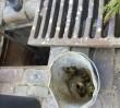 Dziewięć kaczuszek wpadło do studzienki kanalizacyjnej. Interweniowali mieszkańcy