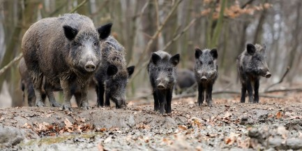 Odstrzelą 80 dzików w granicach Warszawy. Będzie protest
