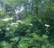 """""""To nie barszcz Sosnowskiego!"""" - zamiast toksycznych, ludzie niszczą rośliny chronione"""