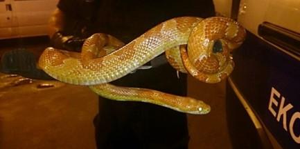 Wąż zbożowy odłowiony na Gocławiu